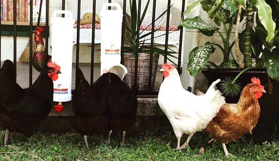 Black and White chickens using Dine A Chook chicken feeder and drinker